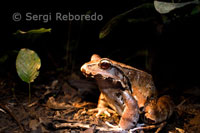 One of the many varieties of frogs that can be sighted in the forests of the Amazon rainforest.