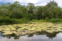 Huge Victoria Regia water lilies in one of the tributaries of the Amazon to Iquitos about 40 miles near the town of Indiana.