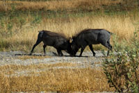 "A pair of warthogs fights while performing the walking safari made camp near the Eagle Island Camp of Orient Express, on the outskirts of the Moremi Game Reserve in Botswana. Social behavior and reproduction of these warthogs. This species of wild boars are not territorial, but occupy an area of ??action. Wild boars live in groups called sounders. Females live in sounders with their young and with other females. Females tend to stay in their natal groups, while the men go, but stay within the home range. Subadult males associate in bachelor groups but leave alone when they become adults. Adult males only join sounders that have estrous females. Warthogs have two facial glands - tusk gland and sebaceous gland. Warthogs of both sexes begin mark around six to seven months of age. Males tend to mark more than women. The places that are indicated are for sleeping and feeding areas and springs. Warthogs use tusk marking for courtship, antagonistic behavior, and set the state. Warthogs are seasonal breeders. Rutting begins at the end of the dry season or early rainy and delivery begins near the start of the next rainy season. The mating system is described as ""overlap promiscuity"": the males have ranges overlapping several female ranges, and daily behavior of the female is unpredictable. Boars employ two mating strategies during the rut. With the ""staying tactic"", a boar will stay and defend certain women or a valuable resource for them. In the ""itinerant"" tactical boar sows in heat seek and compete for them."