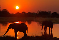 "Postal sunset with two elephants crossing a flooded area near the camp Khwai River Lodge by Orient Express in Botswana , within the Moremi Game Reserve Wild . Botswana , the elephant hunter paradise . Africa is the most coveted destination for hunters from all over the planet, and Botswana to the south of the continent, is one of the sweet tooth for lovers of the game. "" Hunting in the Okavango and landscapes of the area of the marshes make this destination a favorite for safari hunters ' web ensure Hunters Circle . The time allowed for the practice of hunting runs from April to September and April is just recommended to collect large elephants. Prices can range from 6,000 to 30,000 euros. Elephant Hunting in Botswana is effected ' footprint '. In broad terms, is up early and go through the points for which the elephant may have been looking for fresh tracks of adult males . According to experts in the field , prices for hunting in Botswana can range from 6,000 to 30,000 euros , depending on the features you'll enjoy intended in the African country and the goals you have. Of course , it is more expensive to hunt an elephant than a zebra."
