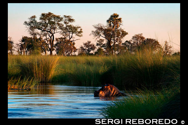 "Be very careful with the hippos in the water safari camp made from Eagle Island Camp by Orient Express, outside the Moremi Game Reserve in Botswana. The common hippopotamus is the third largest land animal in the world today (after the elephant and the white rhinoceros). They can live in water or land navigate, and its specific gravity allows them to sink and walk or run under water along the bottom of rivers. They are considered current megafauna, but unlike all other African megafauna, have adapted to a semi-aquatic life in rivers and freshwater lakes. Due to its large size, hippopotamuses are difficult to weigh in nature and most of the estimates of its weight in the wild come from operations in the 1960s. The average weight for adult males between 1500 and 1800 kg. Females are smaller than males, with average weights between 1300 and 1500 kg.9 Older males reaching weights much larger, reaching at least 3,200 kg and sometimes up to 4500 kg. The males seem to grow throughout their lives, while females reach a maximum weight at around age twenty-five. They measure between 3.3 and 5.2 meters long including the tail, of about 56 cm, and about 1.5 m tall at the shoulders. The range of common hippo measures overlaps with the white rhino, the use of different metrics makes it difficult to establish which of these two animals is the largest land animal after elephants. Despite being a chubby-looking animal with its large barrel-shaped torso, on land can run faster than a human. Estimates of their running speed vary from 30, 40, or even 50 km / h, it can only maintain these high speeds over short distances. His mouth is huge and their jaws can be opened at an angle of 150 degrees, the neck is short and robust and greatly elongated body and thick, with the back to the rump higher than in the cross and buried in the central part, the belly, broad and rounded, is hanging and comes to touch the ground when the animal walks through a swamp. The eyes, ears and nostrils are located on top of the head, allowing them to stay in the water with most of the body immersed in the water and mud of tropical rivers to stay cool and avoid sunburn. Has short legs with four fingers well developed in each terminated in hoof and graviportal skeletal structure is adapted to support the great weight of these animals. Like other aquatic mammals, the hippopotamus has very little hair. Although not a ruminant stomach has a complex comprising three divisions or chambers. The skin is smooth with pleats on the chest and neck and almost hairless except for a short bristles on the head and tail. It is gray purple, with the lower body and around the eyes and pinkish brown ears, are common cases of albinism. The epidermis (outer layer) is uniformly thin, and the endodermis varies from 5-6 cm in back and rump less than 1 cm in head and belly. Their skin secretes a natural sunscreen reddish, which causes sometimes say that ""blood sweat,"" but is neither blood nor sweat, this secretion is initially colorless, for a few minutes and eventually turn red orange color brown. We have identified two different pigments in the secretions, one red (hiposudárico acid) and one orange (norhipposudoric acid). Both are highly acidic compounds and inhibit the growth of disease-causing bacteria on the other hand, the light absorption of these pigments reaches the ultraviolet range having an effect sunscreen. All hippos, even with different diets, secrete these pigments, so it does not seem to occur based on their supply. In contrast, animals can synthesize protein precursors pigments, as the amino acid tyrosine. They have 2-3 pairs of incisors and canines of the lower jaw have the appearance of two large tusks, which can be overcome in the case of males 50 cm in length (half in the case of females) and achieve a 4 kg weight, are triangular, curved in a crescent shape, blunted at the end thereof and provided with longitudinal grooves. The tusks of the upper jaw are much shorter and weaker, and also curved and blunt at the tip. We measured the bite force of a adult female hippo at 8100 N"