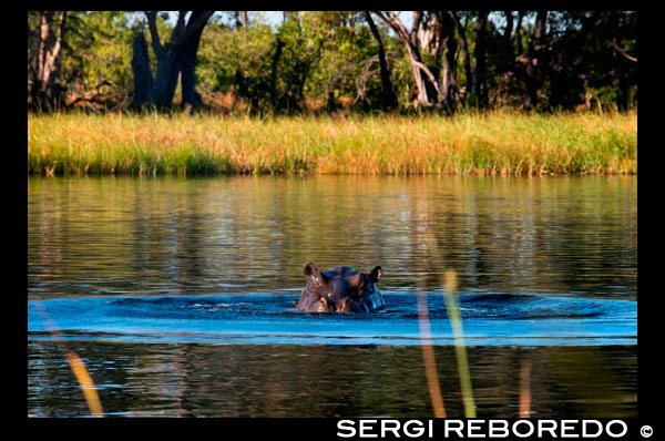 In the Okavango Delta inhabit large number of hippos, visible during Water Safari Camp Eagle Island Camp by Orient Express, outside the Moremi Game Reserve in Botswana. The common hippopotamus (Hippopotamus amphibius) is a large mammal primarily herbivorous artiodactyls living in sub-Saharan Africa. It, along with pygmy hippopotamus (Choeropsis liberiensis), one of only two current members of the family Hippopotamidae. It is a semi-aquatic animals inhabiting rivers and lakes where territorial adult males with groups of 5-30 females and young control a river area. During the day they remain in the water or mud, and both intercourse and delivery of this animal occur in water. At dusk they become more active and out to graze on grass. While hippopotamuses rest near each other in the water, grazing is a solitary activity, and are not territorial on land. Despite their physical resemblance to pigs and other terrestrial ungulates, their closest living relatives are cetaceans (whales, porpoises, etc..) Of which diverged about 55 million years. The common ancestor of whales and hippos split from other even-toed ungulates around 60 million years ago. The hippopotamus fossils earliest known members of the genus Kenyapotamus in Africa, date to make about 16 million years. The hippopotamus is recognizable by its barrel-shaped torso, enormous mouth and teeth, body skin smooth and nearly hairless, stubby legs and large size. Earth is the third animal by weight (between 1 ½ and 3 tonnes), behind the white rhinoceros (1 ½ to 3 ½ tonnes) and the two genera of elephants (3-9 tons). Despite its stocky shape and short legs, can run as fast as the average human. Hippos have been clocked at 30 km / h over short distances. It is one of the most aggressive creatures in the world and is often regarded as the most ferocious animal in Africa. There are approximately 125 000 150 000 hippos throughout Sub-Saharan Africa, Zambia (40,000) and Tanzania (20 000-30 000) have the largest populations. Are threatened due to habitat loss and poaching for their meat and ivory canine teeth.