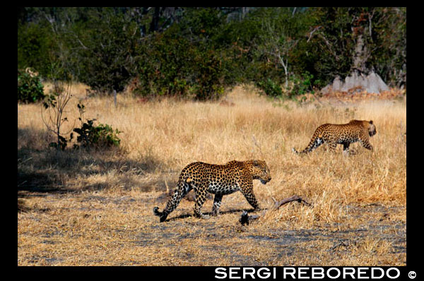 A pair of leopards come our way as we make the game safari camp near Khwai River Lodge by Orient Express in Botswana, within the Moremi Game Reserve Wild, Botswana. The leopard is the other big cat in Africa, as well as the most widespread. Unlike the lion prefers areas with extensive vegetation to live and hunt. Weighing in at eighty to ninety kilos, the leopard is a solitary hunter that only during the breeding season can be seen in the company of some opposite sex congener. Endowed with a great view and a fine ear, the leopard can hunt from amphibians and rodents to considerable size antelopes. Arrival of spring, females give birth to a varying number of offspring that can be from two to six, although in the early days of life suffer high mortality that can reduce the litter to less than half. After ten weeks, the puppies are starting to catch small animals and insects, more like a game than a true action game. When are one year when young leopards are actively involved in the work of hunting before her mother finally emancipated. The leopard lives in almost all types of areas in the southern half of Africa and Asia. He specializes in capturing primates. The melanistic specimens are common in species and especially in Asia.