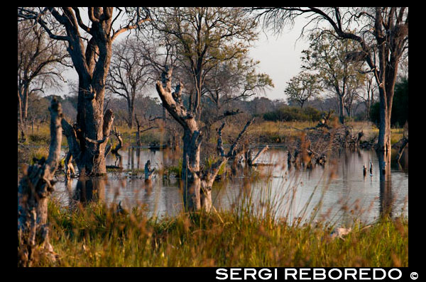 "Flooded landscape llvuas at the time of the Okavango Delta Khwai River camp near Lodge of Orient Express in Botswana , within the Moremi Game Reserve Wild . Botswana. Despite being neither a national park nor a reserve , Okavango Delta Botswana is what it might mean for South Africa Kruger or Serengeti to Tanzania. No safari in Botswana would be complete without visiting this wonder of nature. Given the importance of this delta is in the whole ecosystem of the country, has a special niche . The Okavango Delta covers an area of ??about 15000 km2 through a maze of lagoons, channels and islands before disappearing in the south in the sands of the great desert of the Kalahari , indeed , the delta is known as "" the jewel of the Kalahari "" to be a real natural oasis amid the aridity of the land. Each fall , the abundant rains of the highlands of Angola enliven this parched landscape located more than 1000 km away . The rain water from the hills down to the Okavango River , which through its 1430 km long flowing through the Caprivi region of Namibia before entering Botswana to the east of Shakawe . That's when more than 18.5 billion cubic meters of water are scattered across the plains of the landscape into the wilderness . As water basins are filling the dusty landscape is coming alive becoming a beautiful mosaic of lush meadows , marshes , forests of miombo , mopane forests , islands and lagoons flooded open papyrus dominated , palm trees and winding canals covered by millions lily . Depending on the rains in Angola and the water level, the islands appear and disappear , so for example in the month of May, the delta it hosts a large number of animals that come in search of green pastures. The rainy season in the delta Angola matches taking place between the months of October and April and produces Okavango river flooding . These rains are usually most intense in the northern delta and lower proportion in the south. In the southern city of Maun , the contrast of temperatures in the winter months is very noticeable ( between 6 ° and 23 ° ) , when he is nothing strange frost during the waves of cold winter , but in the summer months temperatures can exceed 35 degrees in the hottest months (October). In the months of July to September rainfall is null and practically nonexistent in May and June , for against the wettest months are usually ranging from December to March. The best time to visit this beautiful ecosystem would be a little depending on what it is intended to observe , if what is sought is to watch the larger mammals the best time to visit would be between the months of May and October as is when the water levels go down and therefore the animals concentrate around them, but if the aim is to observe the large bird that lives , perhaps the best time is between the months of November to April is the season of rain. In any case, any case, when you go to visit you can not miss the opportunity to take a mokoro ride for a few hours . A unique experience that surely will make any visitor who can appreciate nature. Other places of interest located nearby the delta would Gcwihaba Caverns (known as caves or cave hyenas Drotsky ) to what is required to obtain permission from the locals of Nxainxai and be equipped with flashlights and supplies. Admission is about U.S. $ 5 pp and you can hire your visit from Maun , the Aha Hills with more than 700 million years and 300 meters high is located on the border between Botswana and Namibia. The feeling of being isolated from the world in this place is full , or the famous Hills Tsodillo actually consist of four hills immersed in hundreds of myths and legends that encompass over 2750 original paintings san."