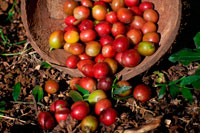 Atiu Island. Cook Island. Polynesia. South Pacific Ocean. Some of the coffee beans grown in the Atiu Coffee Factory in Atiu Island.  Coffee has been grown on Atiu for as long as people remember. Missionaries established it commercially in the early 19th century. By 1865 already, annual exports of coffee from the Cook Islands amounted to 30,000 pounds. The islands' ariki (high chiefs) controlled the land used for planting and received most of the returns. The commoners often saw little if any reward for their labour. In the late 1890s, Rarotongan coffee production suffered due to a blight that affected the plants. Coffee production declined and had to rely more on crops from the outer islands Atiu, Mauke and Mangaia. World Wars I and II resulted in a further export reduction and eventual standstill. In the 1950s, the co-operative movement in the Cook Islands generated  the re-establishment of coffee as a cash crop. On Atiu, under the supervision of New Zealand Resident Agent Ron Thorby and the Cook Islands Agriculture Department, new coffee plantations were established (left: Are Pua coffee plantation). The raw coffee was destined for export to New Zealand where it was processed and marketed. When Juergen Manske-Eimke (right) settled on Atiu in 1983, the coffee industry had collapsed. Government stepped back and left the plantations to their landowners.