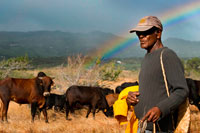 Sunset with rainbow background. A Ramadero care of his cows. In Réunion, its magnificent scenery, unspoilt nature and magnificent possibilities for hiking have given international fame. But the meeting, located east of Madagascar in the Indian Ocean, is also an island that has taken advantage of their different influences.