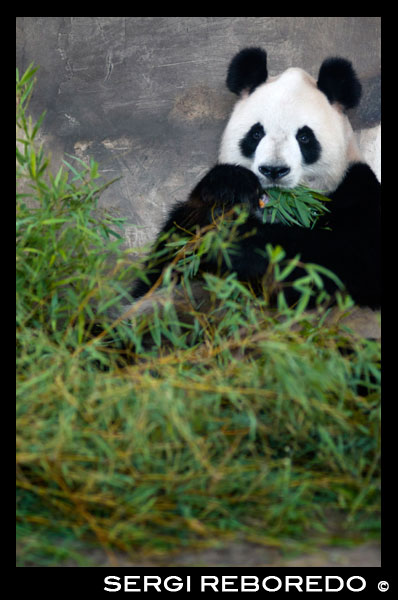 "Giant Panda Bear in Shanghai, China. The panda (Ailuropoda melanoleuca, lit. ""black and white cat-foot""; dàxióngm?o, also known as panda bear or the giant panda to distinguish it from the unrelated red panda, is a bear[3] native to south central China.[1] It is easily recognized by the large, distinctive black patches around its eyes, over the ears, and across its round body. Though it belongs to the order Carnivora, the panda's diet is over 99% bamboo. Pandas in the wild will occasionally eat other grasses, wild tubers, or even meat in the form of birds, rodents or carrion. In captivity, they may receive honey, eggs, fish, yams, shrub leaves, oranges, or bananas along with specially prepared food  The giant panda lives in a few mountain ranges in central China, mainly in Sichuan province, but also in Shaanxi and Gansu provinces. As a result of farming, deforestation, and other development, the panda has been driven out of the lowland areas where it once lived.  The panda is a conservation reliant endangered species. A 2007 report shows 239 pandas living in captivity inside China and another 27 outside the country. Wild population estimates vary; one estimate shows that there are about 1,590 individuals living in the wild, while a 2006 study via DNA analysis estimated that this figure could be as high as 2,000 to 3,000. Some reports also show that the number of pandas in the wild is on the rise. However, the IUCN does not believe there is enough certainty yet to reclassify the species from Endangered to Vulnerable.  While the dragon has often served as China's national emblem, internationally the panda appears at least as commonly. As such, it is becoming widely used within China in international contexts, for example as one of the five Fuwa mascots of the Beijing Olympics."