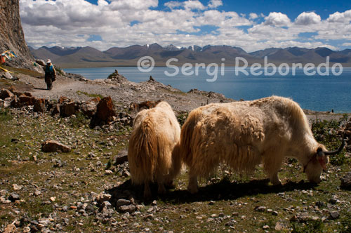 Yaks grazing at the foot of Lake Nam Tso. Southeast of Lake Namtso, is the main peak of the snow-capped mountains Danggula sentences. Surrounded by pastures, the lake looks like a large mirror, with the clear blue sky over the dark blue lake, white snow, green grass, wild flowers of various colors, all this makes a beautiful natural picture. Namtso Lake is abundant in plants for Chinese medicine as the Chinese caterpillar fungus, Fritillaria, and the snow lotus, and several species of fish such as fish and fish fine saw thorn. The lake is a habitat of various wild animals like black bears, wild bull, wild ass, blue sheep and marmots, etc.