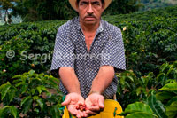 Shown as a collector collects the coffee bean to coffee beans at Hacienda San Alberto. (Buenavista, Quindio). To ensure quality, the efforts of the Colombian coffee growers do not end in their territory. Through the program 100% Colombian roasters from all continents purchase their Colombian green coffee and sell it under their brand 100% Colombian consumers around the world. Each of these brands is made to monitor quality in laboratories, on different continents, to ensure that the product is consistent with the required quality standards and complying with the regulations of guarantee of origin for coffee roasting and packaged by others. The Colombian Coffee can also reach your cup in a cafe or restaurant buys or uses Colombian roasted coffee. Coffee growers in Colombia, seeking to generate greater knowledge about their effort and their origin, have also developed their Juan Valdez coffee shops to promote your product and bring the consumer a friendly message associated with the effort, respect and dedication to drink . You could say that prior to export, a lot of Colombian coffee is to check at various points in which analyzes and evaluates the quality, from farm to port of export. Additionally, through specialized companies and contract laboratories sampling for this purpose, analyzes are performed on every continent of Colombian coffee brands processed and distributed by third parties on all continents. Are held annually around 1,200 a year quality analysis of this type. Colombia has become a world leader in terms of coffee by his obsession to build a system of quality assurance for products ranging from the seed of the tree associated with the work of Cenicafé to cup Coffee 100% Colombian , which reaches millions of consumers around the world.
