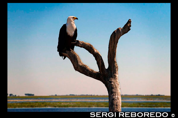 From Victoria Falls is possible to visit the nearby Botswana. Specifically Chobe National Park. African Fish Eagle (Haliaeetus vocifer) in Chobe National Park in Botswana. African fish eagles are familar birds of prey on the waterways of sub-Saharan Africa, noted for their distinctive and haunting call. These eagles perch on branches overlooking the water, swooping down to catch fish which are then carried back to the perch or dragged to shore if too big to carry. African fish eagles also eat birds, monkeys and even crocodile hatchlings. These efficient predators can get away with spending as little as 10 minutes a day actively hunting. The African fish-eagle is a proficient hunter, with live fish accounting for the bulk of its diet. It typically hunts from a high perch on a waterside tree, where it can watch for fish moving close to the water's surface. Once prey is sighted, the fish-eagle launches from its perch, swoops low over the water, and at the critical moment throws both feet forward to seize hold of its target with powerful talons. Small fish are carried through the air into a tree but larger catches are dragged through the water to the shoreline. Despite only one in every seven or eight fishing attempts being successful, the African fish-eagle rarely spends more than ten minutes per day actively hunting. Aside from fish, this efficient raptor will also take the young of water birds such as the lesser flamingo, and very occasionally will go for monkeys, crocodile hatchlings, frogs and insects. Except for the odd dead fish, fully mature African fish-eagles rarely feed on carrion unless food is particularly scarce. Adult African fish-eagles are normally seen in pairs, but on large productive lakes, nests and roosts may be only a few hundred metres apart, and many birds can be found together in one area. The stick nests are usually built in a tree close by water and are used year after year, growing in size over time with the addition of reeds, papyrus heads, bulrushes and sometimes weaver nests. Calling and duetting, whilst perched or soaring, is an integral part of the breeding display, and is combined with dramatic aerial dives and falls, with pairs interlocking talons in mid air. The female normally lays one to three eggs in the nest, which are incubated for around 44 days before hatching. Until the chicks fledge after around 65 to 75 days, it is necessary for the adults to spend considerably more time hunting for food, compared with other times of the year. Although in captivity African fish-eagles can live for more than 40 years, in the wild those that are fortunate to survive the first year have an estimated life expectancy of 12 to 24 years.