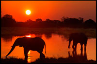 "BOTSWANA: SAFARI WITH ORIENT EXPRESS. Postal sunset with two elephants crossing a flooded area near the camp Khwai River Lodge by Orient Express in Botswana, within the Moremi Game Reserve Wild. Botswana, the elephant hunter paradise. Africa is the most coveted destination for hunters from all over the planet, and Botswana to the south of the continent, is one of the sweet tooth for lovers of the game. ""Hunting in the Okavango and landscapes of the area of ??the marshes make this destination a favorite for safari hunters' web ensure Hunters Circle. The time allowed for the practice of hunting runs from April to September and April is just recommended to collect large elephants. Prices can range from 6,000 to 30,000 euros. Elephant Hunting in Botswana is effected 'footprint'. In broad terms, is up early and go through the points for which the elephant may have been looking for fresh tracks of adult males. According to experts in the field, prices for hunting in Botswana can range from 6,000 to 30,000 euros, depending on the features you'll enjoy intended in the African country and the goals you have. Of course, it is more expensive to hunt an elephant than a zebra. Elephant hunting is regulated in Botswana, and to practice just the amount of money disbursed applicable, a copy of your passport, a copy of the guide rifles and fill out a form."
